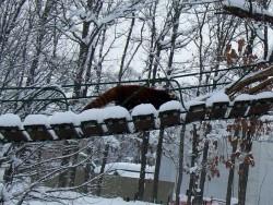雪のレッサーパンダ